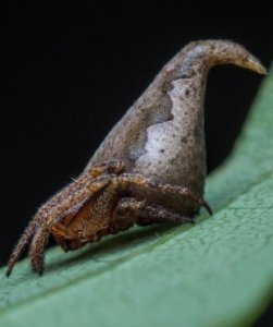 Araignée Gryffondor