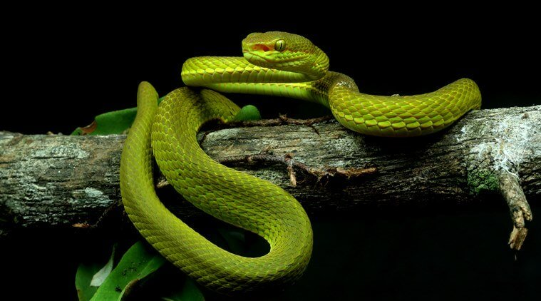 Trimeresurus salazar, crotale Harry Potter